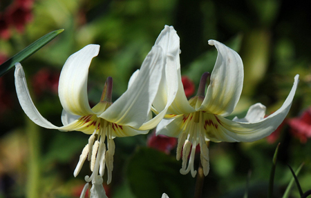 Erythronium tuolumnense White Beauty