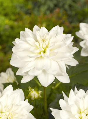 Dahlia Eternal Snow