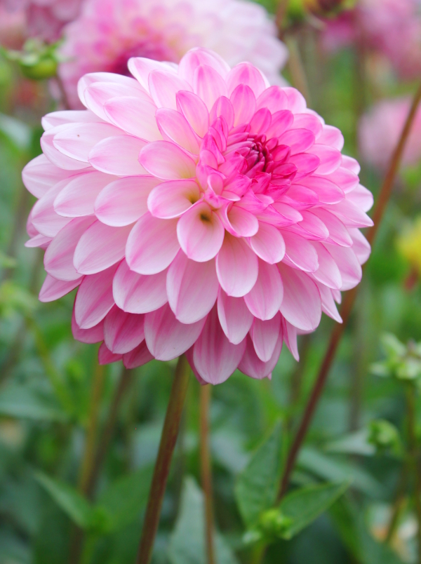 Dahlia Lenny\'s Dream
