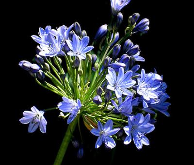 Blue Agapanthus - Dr Brouwer