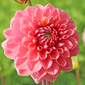 Dahlia Askwith Minnie