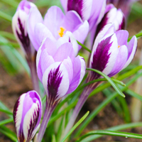 Crocus minimus Spring Beauty