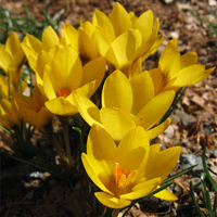 Crocus chrysanthus Goldilocks