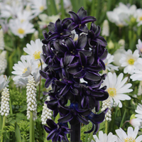 Hyacinth Dark Dimension