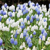 Muscari Delft Blue Mix