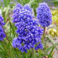 Muscari Fantasy Creation