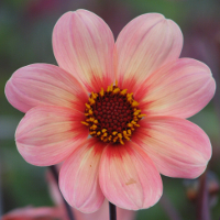 Dahlia Happy Single First Love