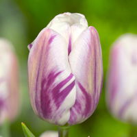 Tulp Flaming Flag