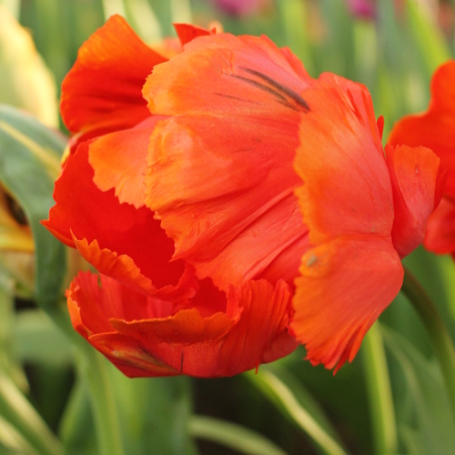 Tulip Flower Power