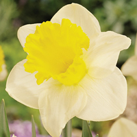 Daffodil Holland Sensation