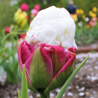 Tulp Ice Cream