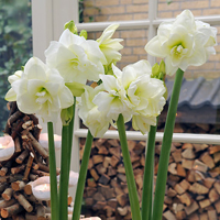 Amaryllis Jewel