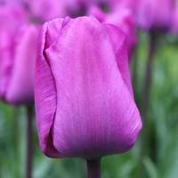 Tulp Magic Lavender
