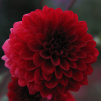 Dahlia Night Queen