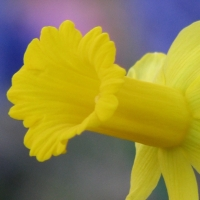 Daffodil Peeping Tom