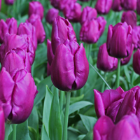 Tulp Purple Prince