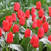 Tulip Royal Anthos