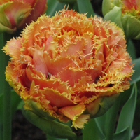 Tulp Sensual Touch