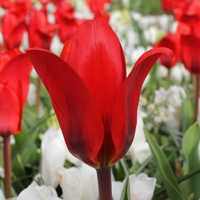 Tulp Red Night