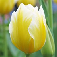 Tulp Sweetheart