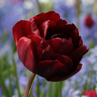 Tulip Uncle Tom