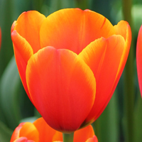 Tulp World's Favourite