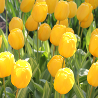 Tulip Yellow Wave
