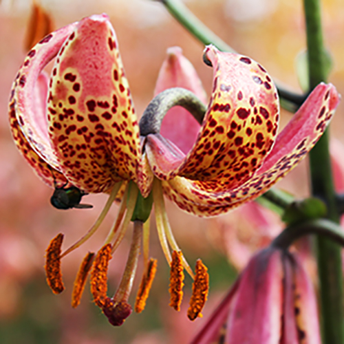 Lilium martagon Manitoba Morning