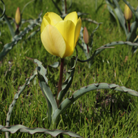 Tulipa montana Yellow Form