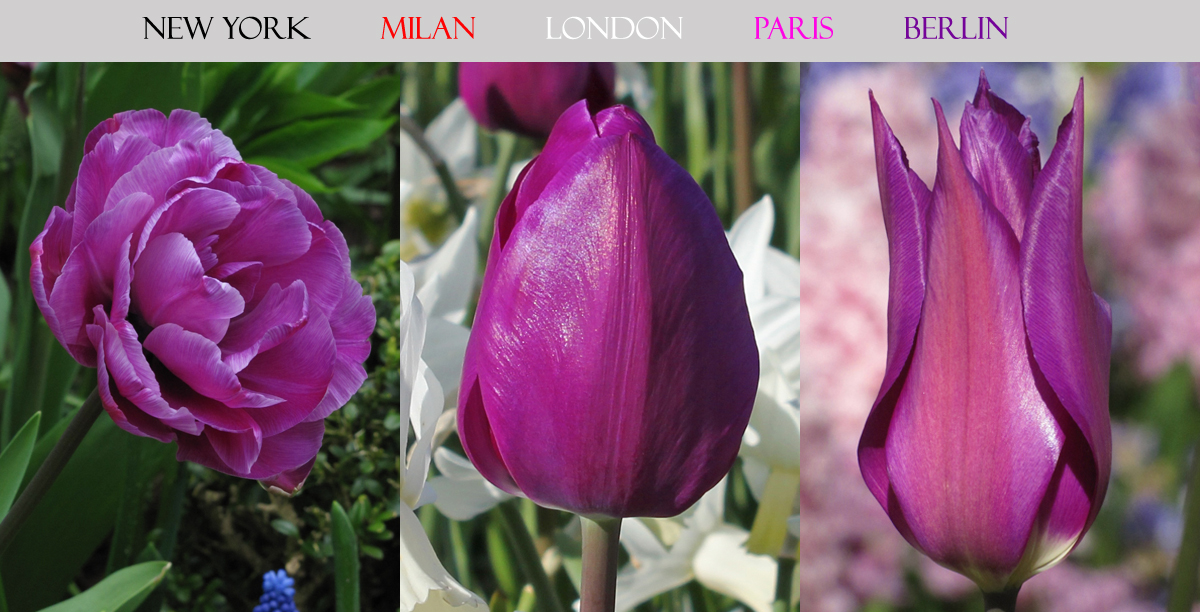 Berlin Tulip Collection