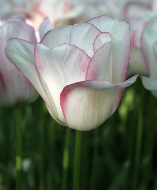 Tulip Blushing Girl