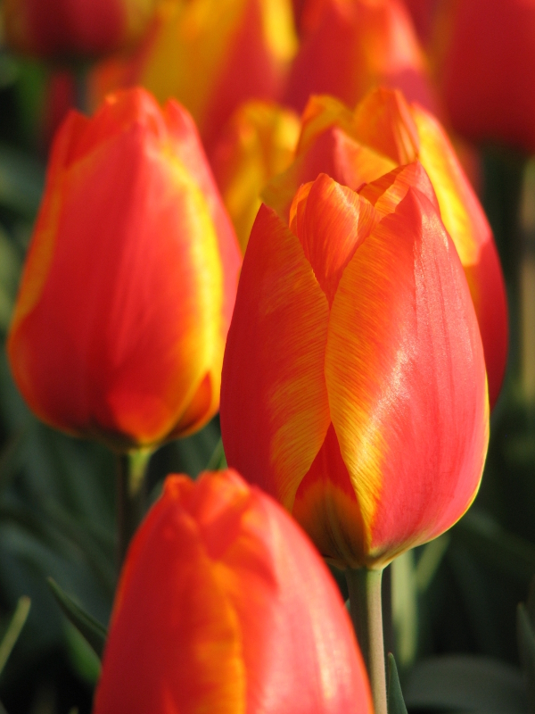 Tulp Flair