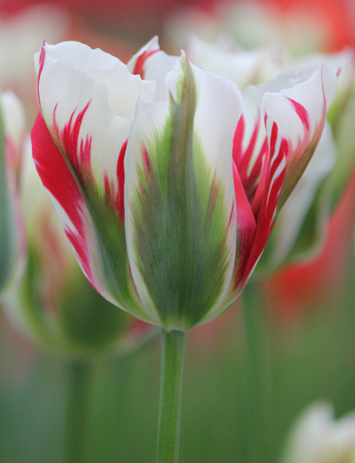 Tulip Flaming Springgreen