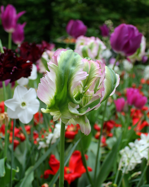 Tulip Green Wave