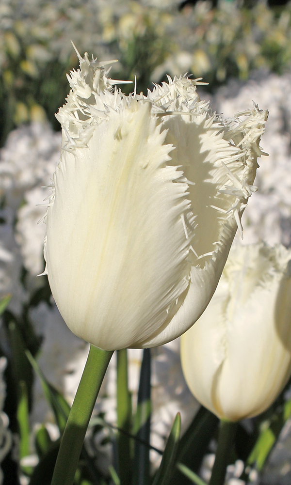 Tulp Honeymoon