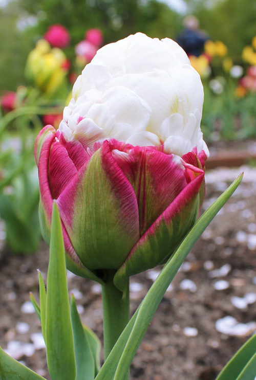 tulip ice cream quality flower bulbs. Black Bedroom Furniture Sets. Home Design Ideas