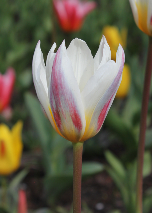 Tulp Ice Stick