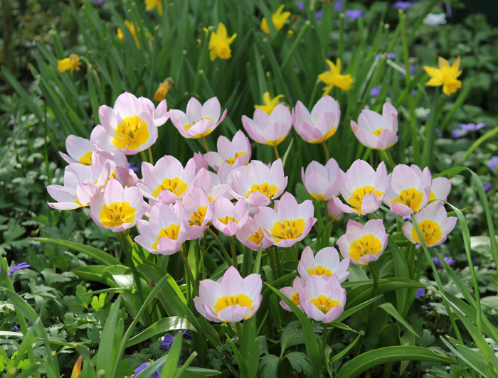 Tulipa Bakeri Lilac Wonder Quality Flower Bulbs Youtulip
