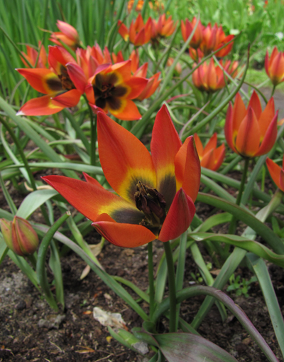 Tulipa Little Princess