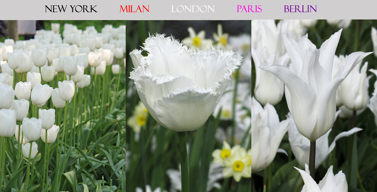 London Tulip Collection