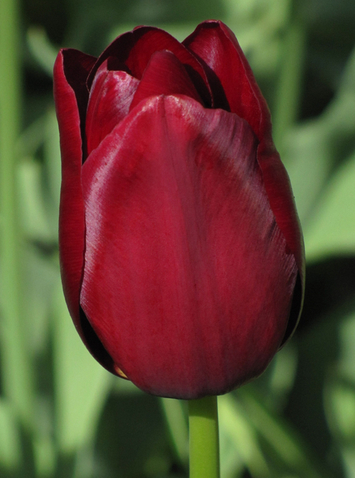 Tulp National Velvet