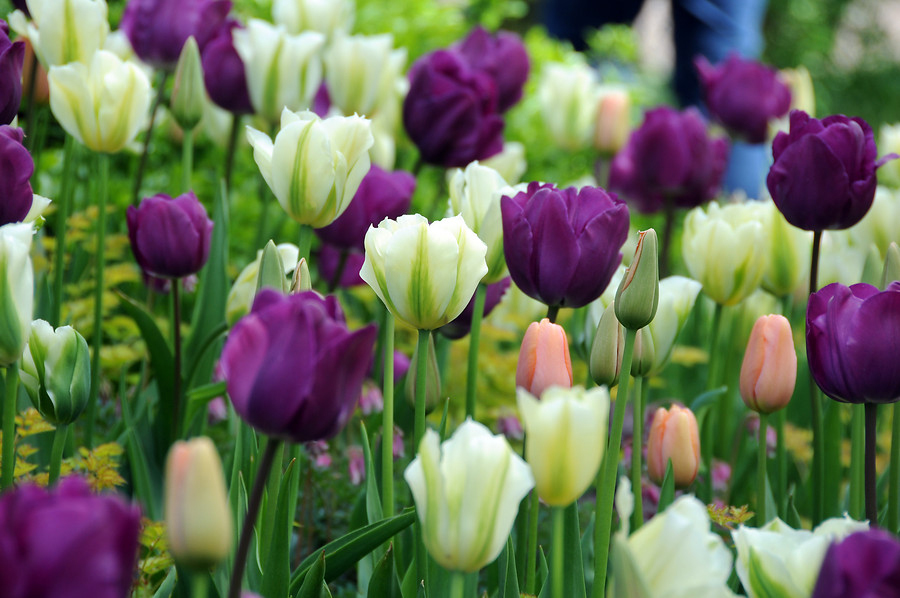 Spring Breeze Tulip Mix