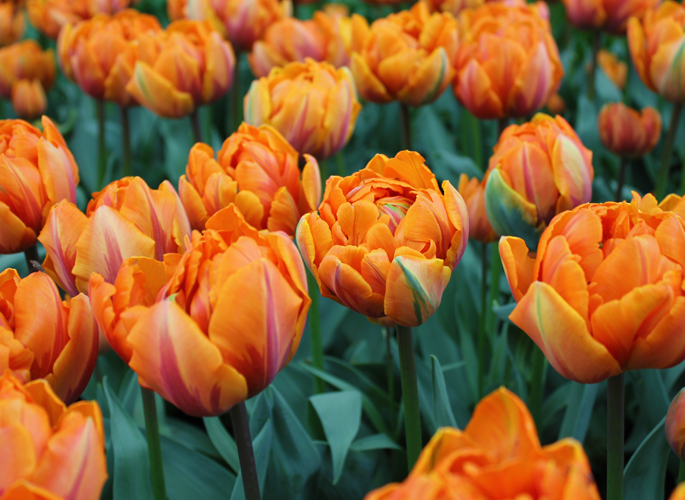 Tulp Orange Princess