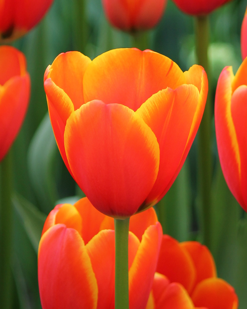 Tulip World\'s Favourite
